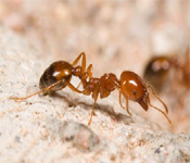 Fire Ant Photo